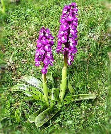 En temiz saf duygularımızı ifade ettiğimiz orkideler