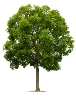 Lefke'de bulunan anit ağaçlari